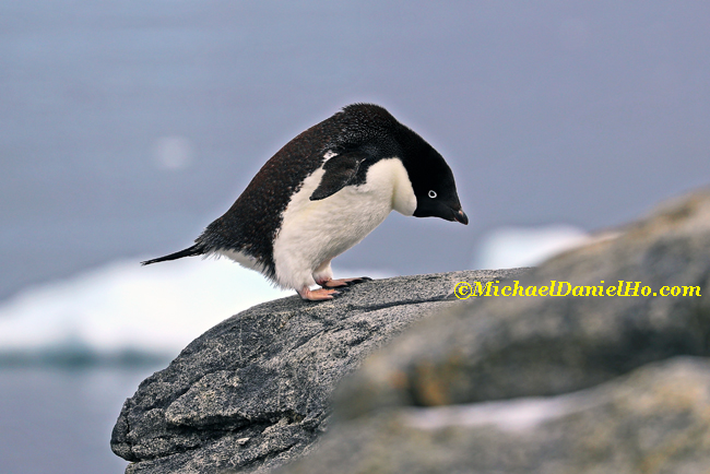 adelie Penguin standing on a rock