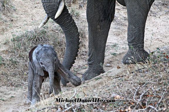 Day old african elephant calf with mom