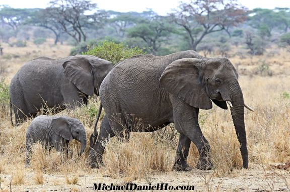 african elephant photos