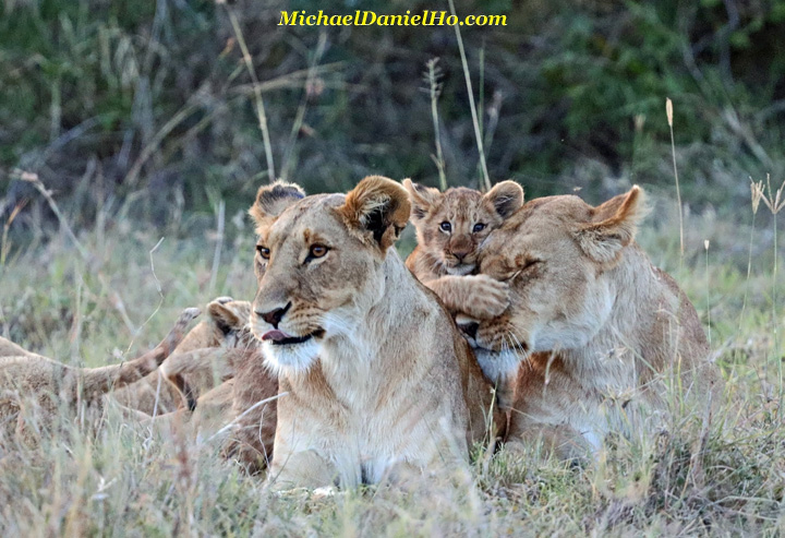 African lion cub with 2 lioness in Masai Mara, Kenya