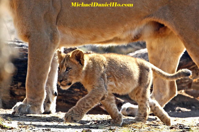 African lion cub walking with mom in Masai Mara, Kenya
