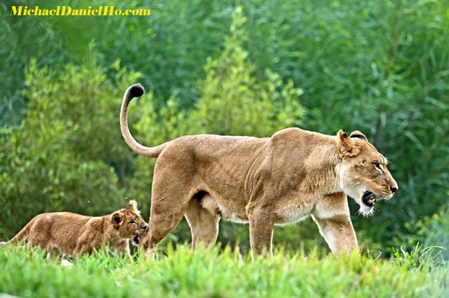 african lion cub biting mom in Masai Mara, Kenya