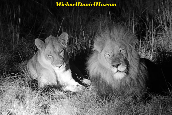 Band of Brothers - 3 African lions walking side by side in South Africa