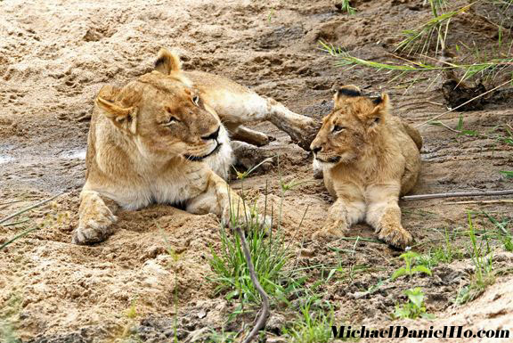 african lioness and cub hanging along the Sabi River, South Africa