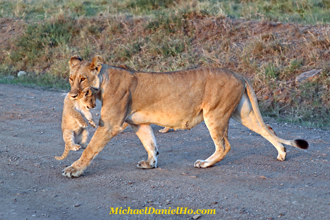 African lioness walking with cub in mouth in Masai Mara, Kenya