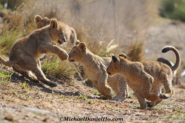 African lion cubs playing in Masai Mara, Kenya