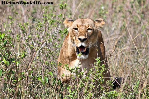 african lion photos