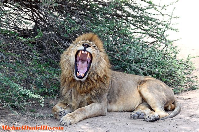 photo of african lion