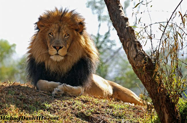 photo of an african lion