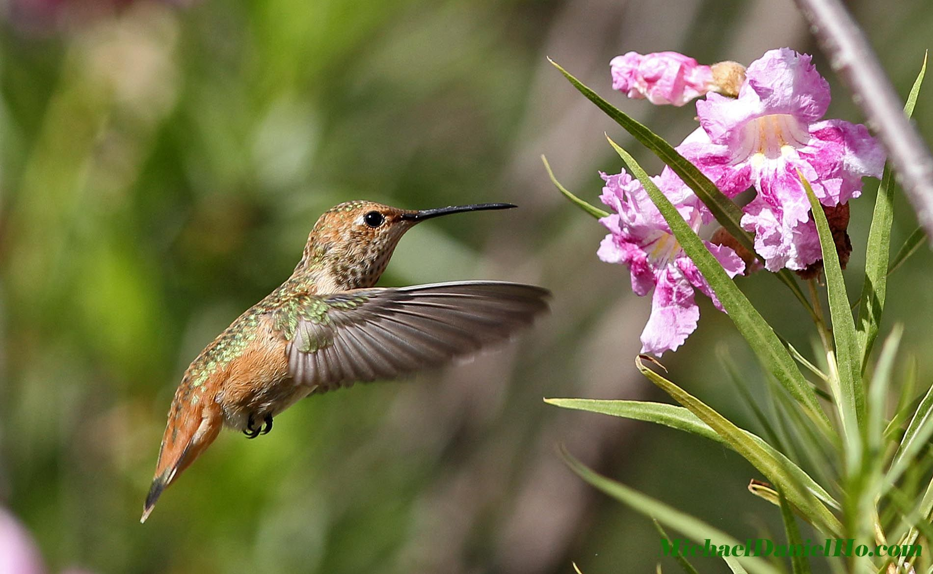 photo of Allen's Hummingbird