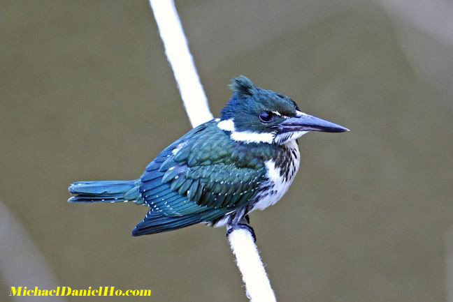 photo of amazon kingfisher