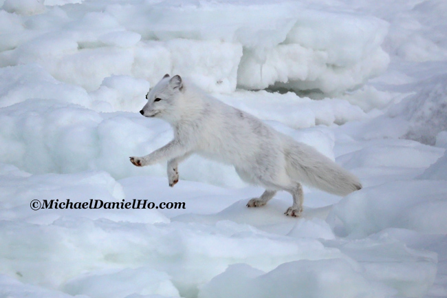 photo of arctic fox in snow in svalbard