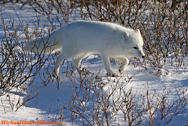 photo of arctic fox