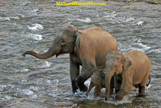 photo of asian elephants with calf in india