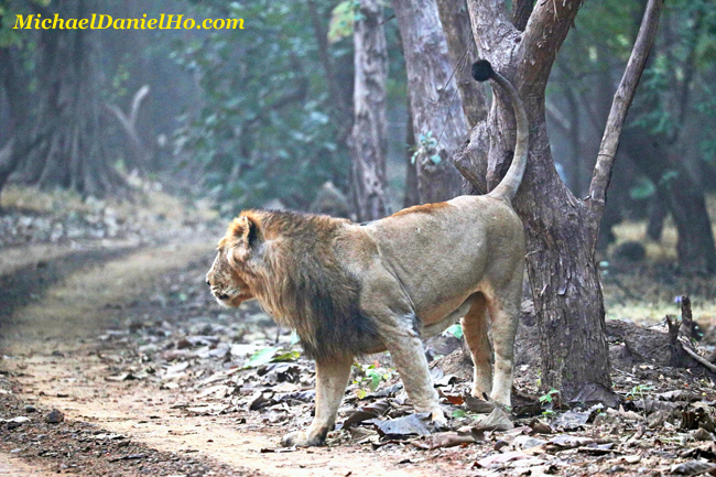Asiatic lion marking a tree in Gir Forest, India