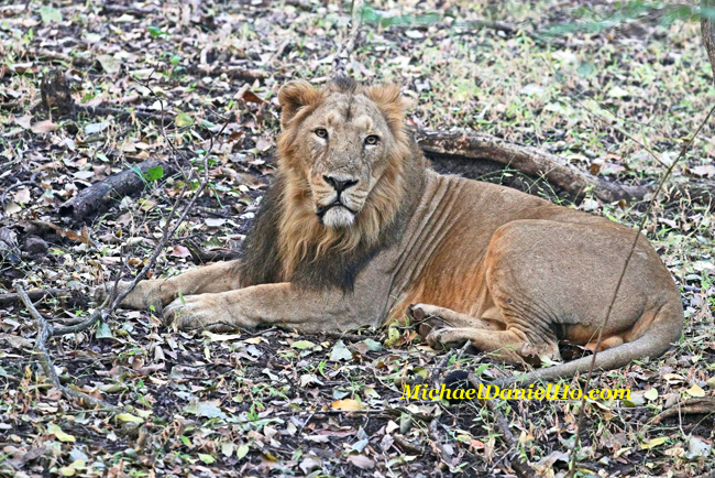 Asiatic lion sitting in Gir Forest, India