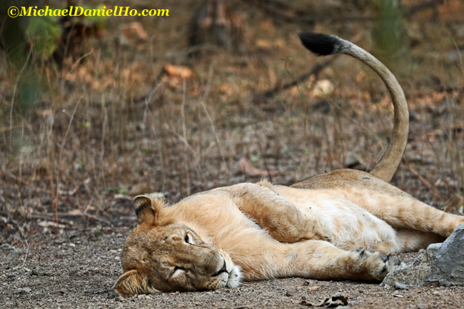 Asiatic lion sleeping and wagging its tail in Gir Forest, India