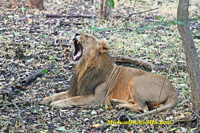 Asiatic lion yawning in Gir Forest, India