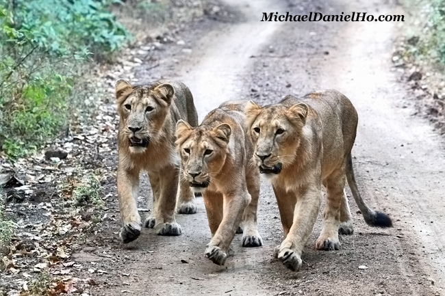 Three Asiatic lions walking in Gir Forest, India