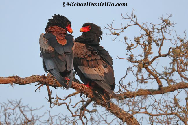 photo of Bateleur Eagles in South Africa