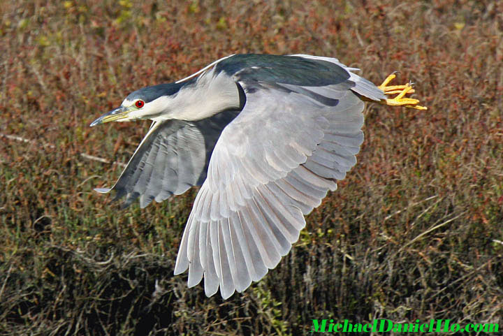 photo of black-crowned night heron in flight