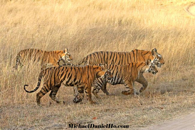 bengal Tiger mom with 3 cubs in Bandhavgarh national park, india