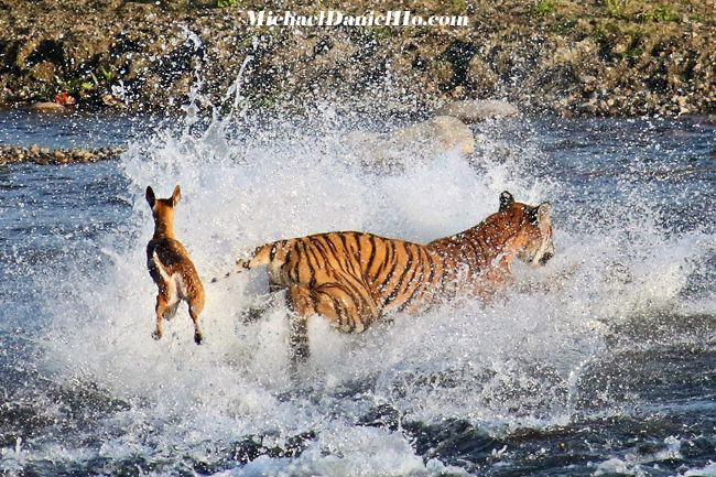 photo of bengal tiger hunting spotted deer in india