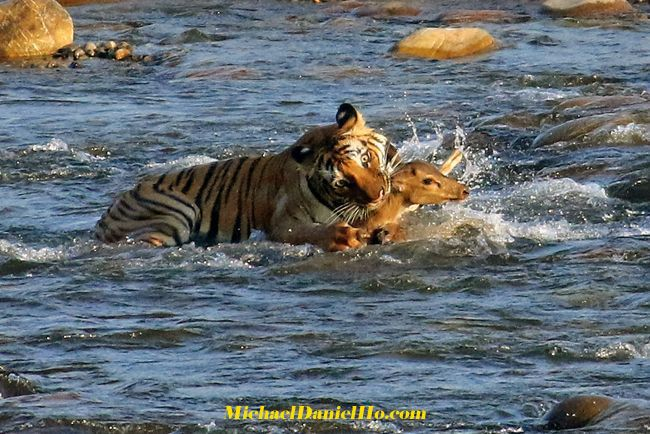 wild tiger making a kill on Spotted deer