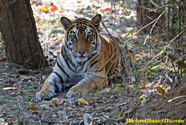 wild bengal Tiger photos