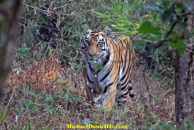 photo of bengal tiger in India
