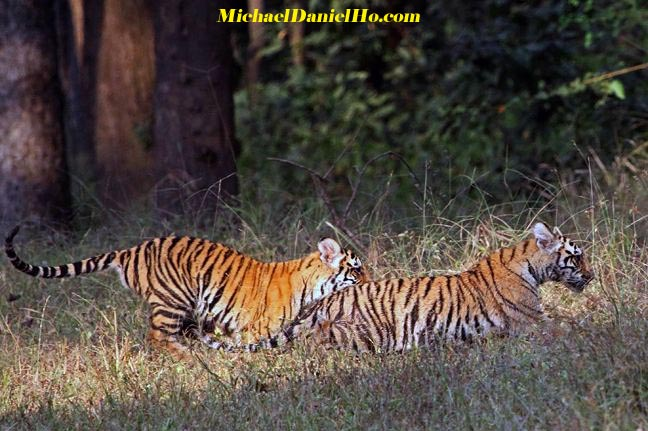 photo of a pair of wild bengal tiger cubs in india
