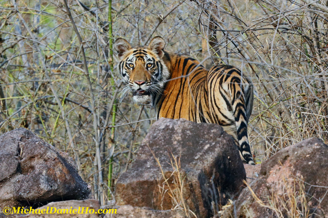 Bengal Tiger in Bandhavgarh national park, india