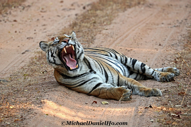 Bengal tiger yawning in Bandhavgarh national park, India