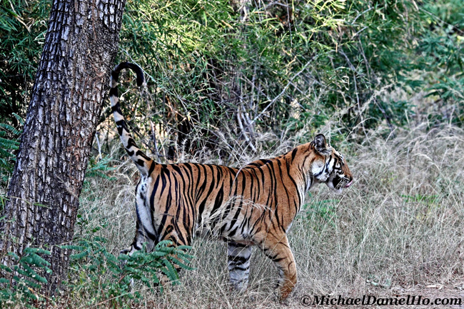 Bengal tiger marking tree in Bandhavgarh national park, India