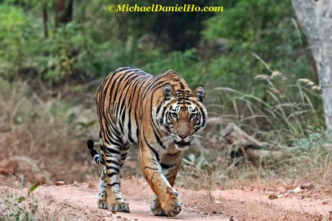 Bengal Tiger walking on trail in Bandhavgarh national park, India
