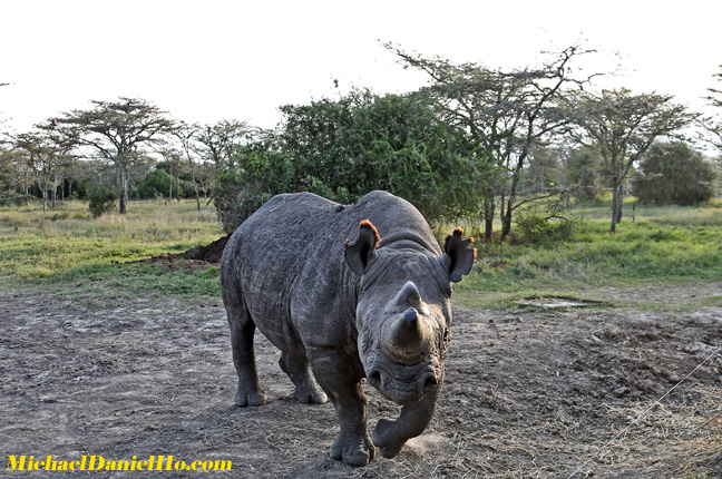 photo of black rhino