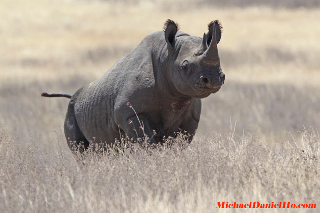 black rhino photos
