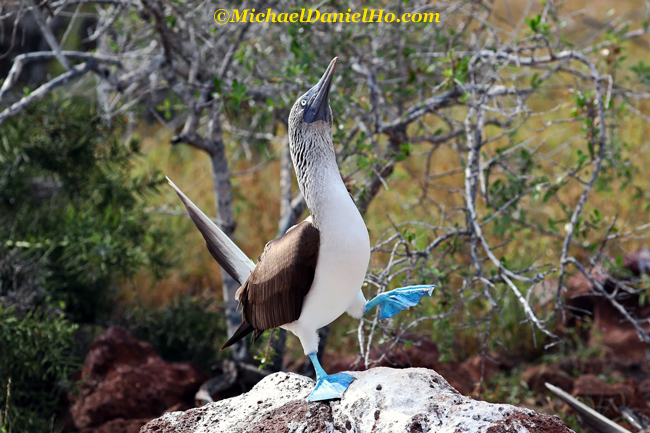 photo safari of blue footed booby in galapagos