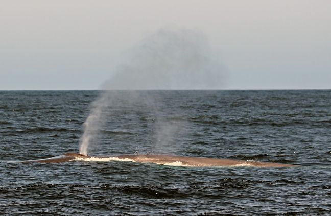 blue whale pictures
