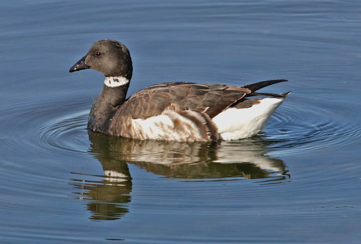 photo of brandt goose
