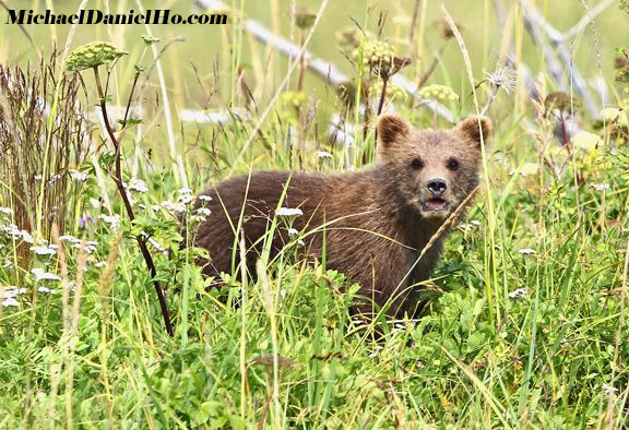brown bear cub in sedge grass