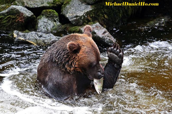 photo of Brown bear with salmon in Alaska