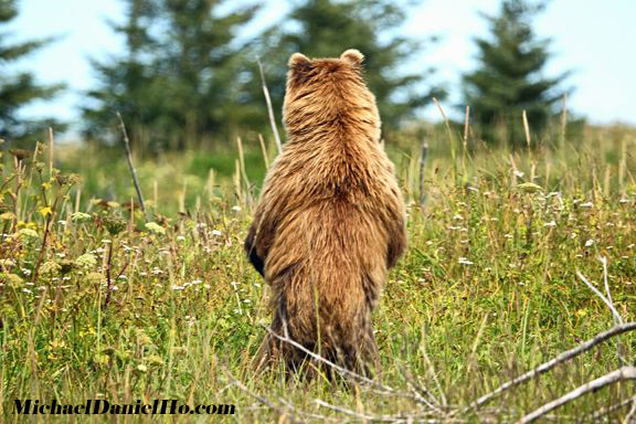photo of brown bear standing