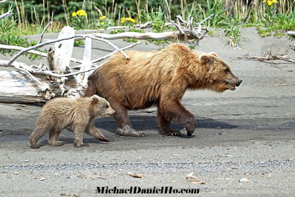 brown sow with cub photo