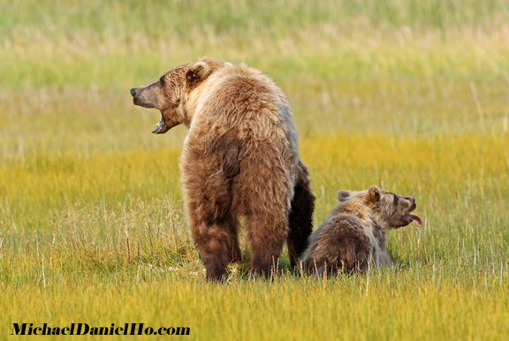 photo of brown bear sow with cub