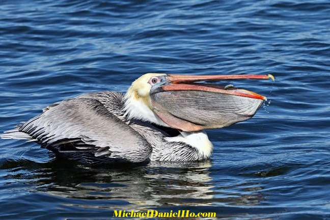 photo of Brown Pelican