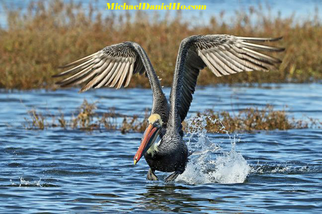 photo of Brown Pelican taking off in the water