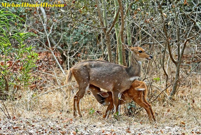 photo of BushBuck mom and young in Africa