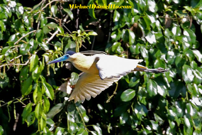 photo of Capped Heron flying in Amazonian jungle