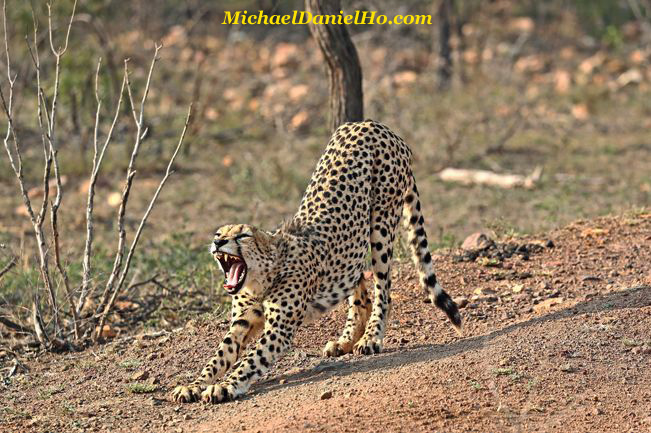 Cheetah stretching in south africa
